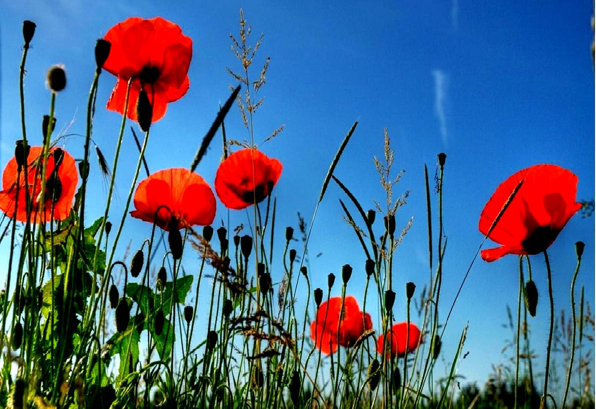 Poppy Flowers Red Wallpaper Download Free Pics